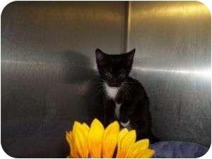 Domestic Shorthair Kitten for adoption in McDonough, Georgia - Peaches Will Follow Ya