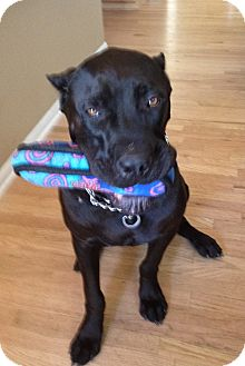 Cane Corso Dog for adoption in Broomfield, Colorado - Deebs