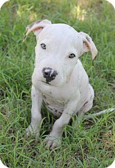 American Pit Bull Terrier Mix Puppy for adoption in Mesa, Arizona - Bones