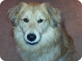 Golden Retriever Mix Dog for adoption in Denver, Colorado - Tanner
