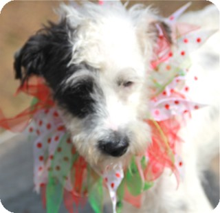 Terrier (Unknown Type, Small)/Poodle (Miniature) Mix Puppy for adoption in Norwalk, Connecticut - Noah - adoption pending
