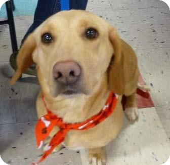 Payton-adoption pending   Adopted Dog   Schaumburg, IL ...