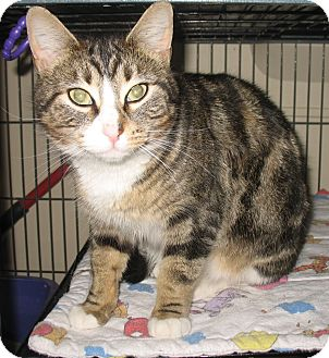 Domestic Shorthair Cat for adoption in Shelton, Washington - Autumn