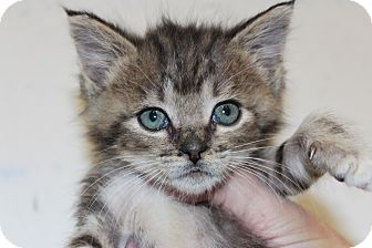 Domestic Shorthair Kitten for adoption in Santa Monica, California - Simeon