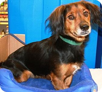 Dachshund/Basset Hound Mix Dog for adoption in Gilbert, Arizona - Nickers