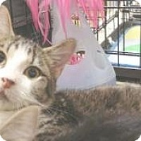 Domestic Shorthair Kitten for adoption in Miami, Florida - Buzz