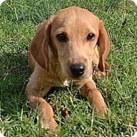 Adopt A Pet :: *Pinky - PENDING - Westport, CT