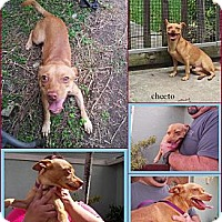 Adopt A Pet :: Cheeto - hollywood, FL