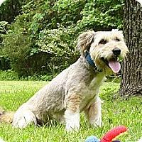 Adopt A Pet :: Dodi - Mocksville, NC