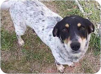 Blue Heeler/Beagle Mix Dog for adoption in Wellston, Oklahoma - Maggie
