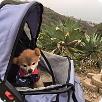 Pomeranian Mix Dog for adoption in Fountain Valley, California - Dusty