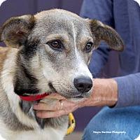 Adopt A Pet :: Shiloh - Marietta, GA