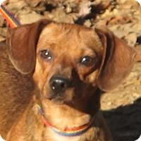 Adopt A Pet :: Ruffles - Allentown, PA