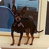 Adopt A Pet :: Zeeva 3 lb Chi - Modesto, CA