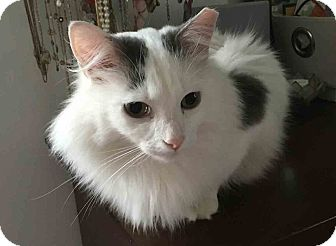 Domestic Longhair Cat for adoption in Gaithersburg, Maryland - Luna