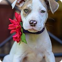 Adopt A Pet :: Lai Lai - Baton Rouge, LA