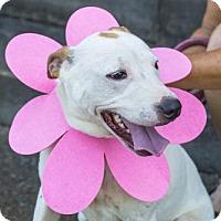 Adopt A Pet :: Sunny - Albany, NY