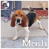 Adopt A Pet :: Mash - Chicago, IL