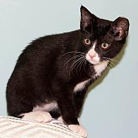 Domestic Shorthair Kitten for adoption in Dallas, Texas - Elisa