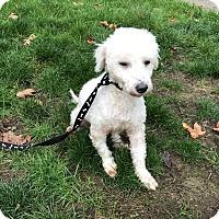 Adopt A Pet :: Angel - Tumwater, WA