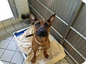 Belgian Malinois/German Shepherd Dog Mix Dog for adoption in Canfield, Ohio - HEINZ