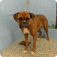 Boxer Mix Dog for adoption in San Bernardino, California - URGENT on 11/30 SAN BERNARDINO