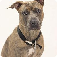 Adopt A Pet :: Olivia - Bradenton, FL