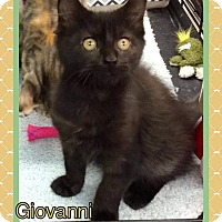 Bombay Kitten for adoption in Atco, New Jersey - Giovanni