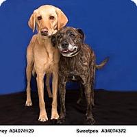 Labrador Retriever Mix Dog for adoption in Reno, Nevada - KASEY