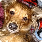Adopt A Pet :: Bailey CJ in AR