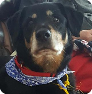 Rottweiler Dog for adoption in Hillsboro, New Hampshire - Zoey