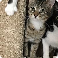 Adopt A Pet :: Bambi - Colmar, PA