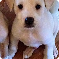 Adopt A Pet :: Diesel - Boston, MA