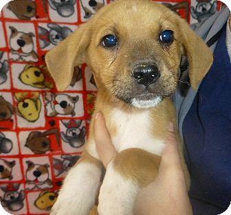 Golden Retriever/Shepherd (Unknown Type) Mix Puppy for adoption in Oviedo, Florida - Jessie