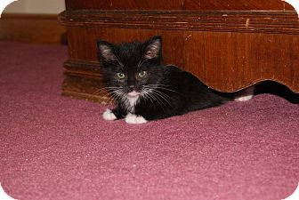 Domestic Shorthair Kitten for adoption in Bensalem, Pennsylvania - Milkshake
