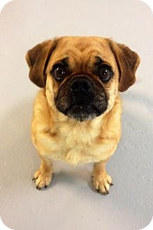 Pug/Beagle Mix Dog for adoption in Muskegon, Michigan - Dennis