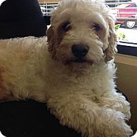 Adopt A Pet :: JACKSON - Mission Viejo, CA