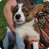 Adopt A Pet :: Corgi Pup 3