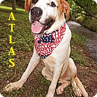 Anatolian Shepherd/St. Bernard Mix Dog for adoption in Converse, Texas - Atlas