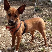 Chihuahua Mix Dog for adoption in Santa Clara, California - Roo
