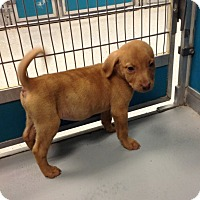 Adopt A Pet :: Carol (Walking Dead Pup) - Cumming, GA