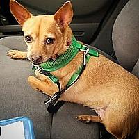 Adopt A Pet :: Scarlett - Henderson, NV