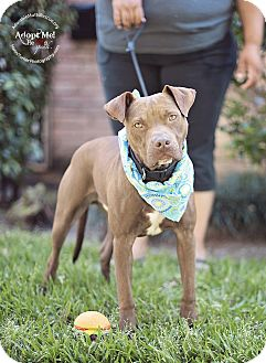 Pit Bull Terrier Mix Dog for adoption in Seattle, Washington - Bruno - sweeter than honey