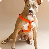 Pit Bull Terrier Mix Dog for adoption in Marietta, Georgia - Joey