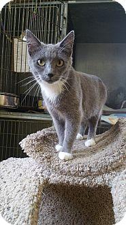 Domestic Shorthair Cat for adoption in Baudette, Minnesota - HAZEL