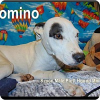 Adopt A Pet :: Domino - Ringwood, NJ
