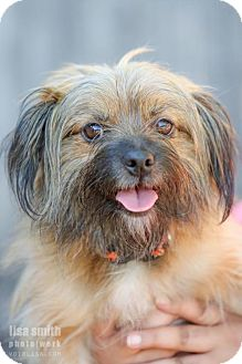 Brussels Griffon Mix Dog for adoption in Plano, Texas - Mr. Robot