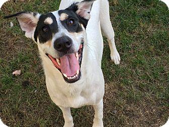 Labrador Retriever/Hound (Unknown Type) Mix Dog for adoption in Bernardston, Massachusetts - Kobe