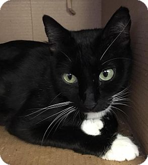 Domestic Shorthair Cat for adoption in Lawton, Oklahoma - ADDY
