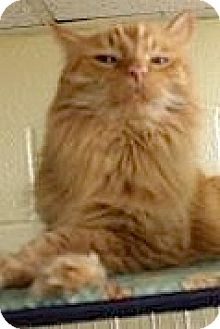 Domestic Longhair Cat for adoption in Euclid, Ohio - Billy